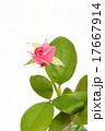 ピンクのバラ 17667914