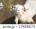 花を食べる白いヤギ 17668674