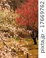 梅園 梅 梅の花の写真 17669762