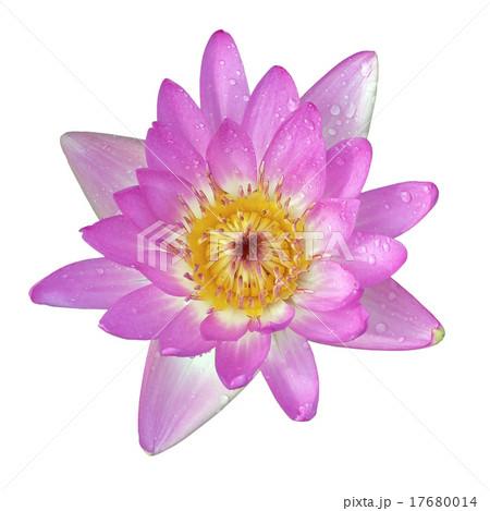lotus flower on  isolated on whiteの写真素材 [17680014] - PIXTA