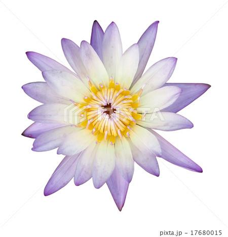 lotus flower on  isolated on whiteの写真素材 [17680015] - PIXTA