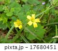 家紋に沢山使われているカタバミの黄色い花 17680451