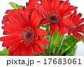 red daisy gerbera flower 17683061
