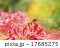曼珠沙華と赤とんぼ 17685275