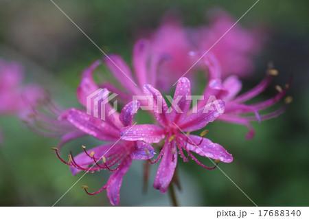 紫の彼岸花 17688340