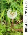 わた毛 植物 綿毛の写真 17693070