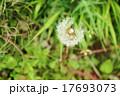 わた毛 植物 綿毛の写真 17693073