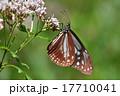 フジバカマとアサギマダラ 17710041