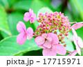 アジサイ 花 ガクアジサイの写真 17715971