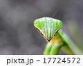 オオカマキリ 17724572