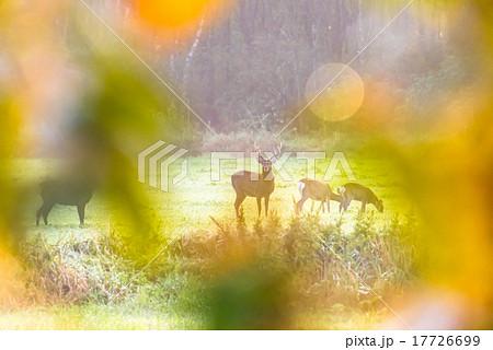 朝の鹿 17726699