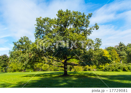 Oak in a clearing in the woods 17729081