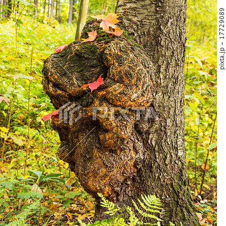 Knot on the tree in the autumn forest 17729089