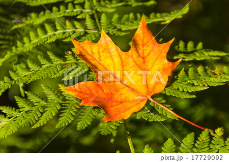 Yellow maple leaf on the fern 17729092