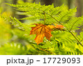 Yellow maple leaf on the fern 17729093
