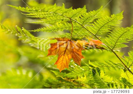 Yellow maple leaf on the fern 17729093