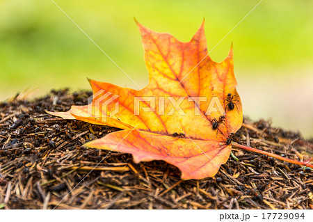 Yellow maple leaf on the anthill 17729094