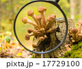 Mushrooms in the autumn forest 17729100