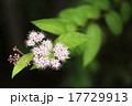 シモツケ バラ科 落葉低木の写真 17729913