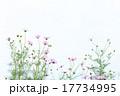 満開のコスモス 17734995