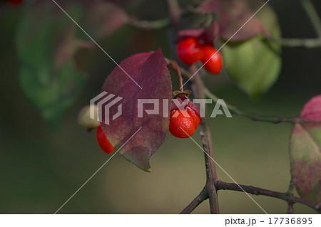 ニシキギの赤い実 17736895