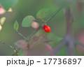 落葉低木 ニシキギ ニシキギ科の写真 17736897