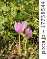 コルチカム イヌサフラン 球根植物の写真 17738544