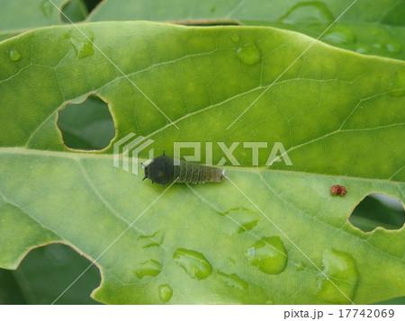 アボカドの葉に、ついた芋虫 17742069