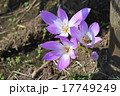 コルチカム 犬サフラン 花の写真 17749249