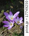 コルチカム 犬サフラン 花の写真 17749250