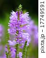 ハナトラノオ カクトラノオ 花の写真 17749591