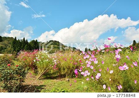 小千谷山本山高原クラインガルテンふれあいの里に咲くコスモスの花 17758848