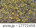 未熟 柿 実の写真 17772458