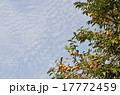 未熟 柿 実の写真 17772459