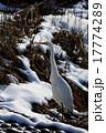 鷺 ダイサギ 野鳥の写真 17774289
