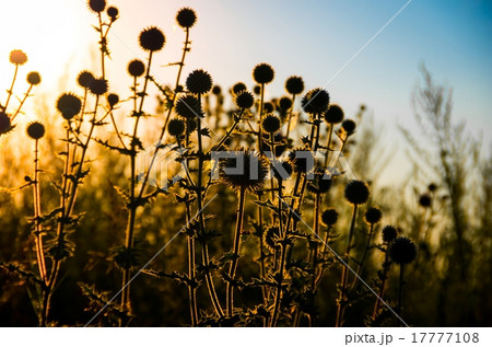 Green field prickly purple plant 17777108