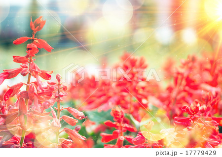 field of red flowers and sunlight 17779429