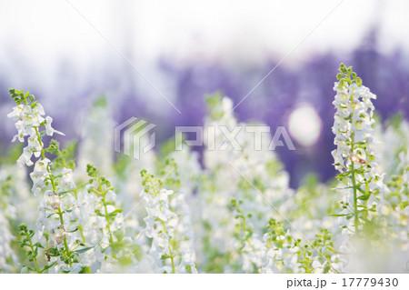 white flowers shallow DOF 17779430