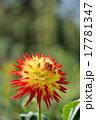 ダリアの花のクローズアップ 17781347