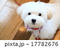 マルチーズ 子犬 17782676