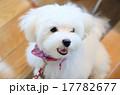 マルチーズ 子犬 17782677