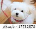 マルチーズ 子犬 17782678