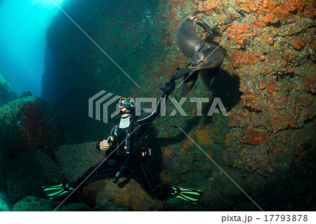 Young puppy californian sea lion touching a diver