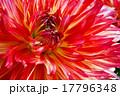 ダリア 花芯 テンジクボタンの写真 17796348