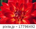 ダリア 花芯 テンジクボタンの写真 17796492