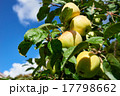 Apples on a branch in an orchard 17798662