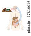 消化器管と脳への伝達の図解 17810016