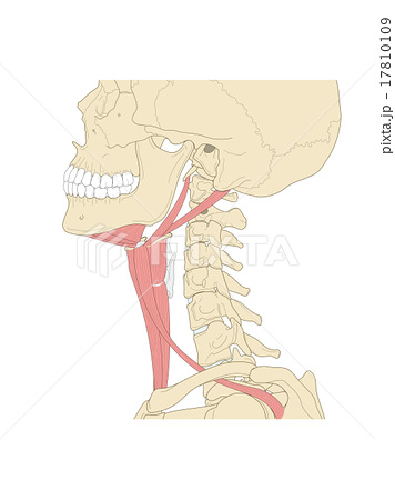 舌骨上下筋群 17810109