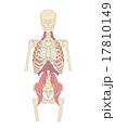 斜角、前鋸、腸腰筋、横隔膜脚 17810149