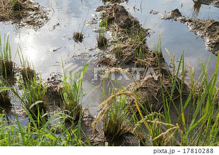 稲刈り後の水田の水たまり1 17810288